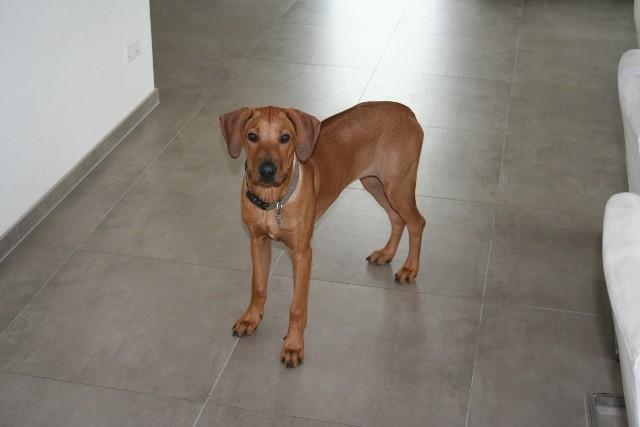 ... ist ein sehr tempramentvoller Hund, der gerne arbeitet und beschäftigt werden möchte