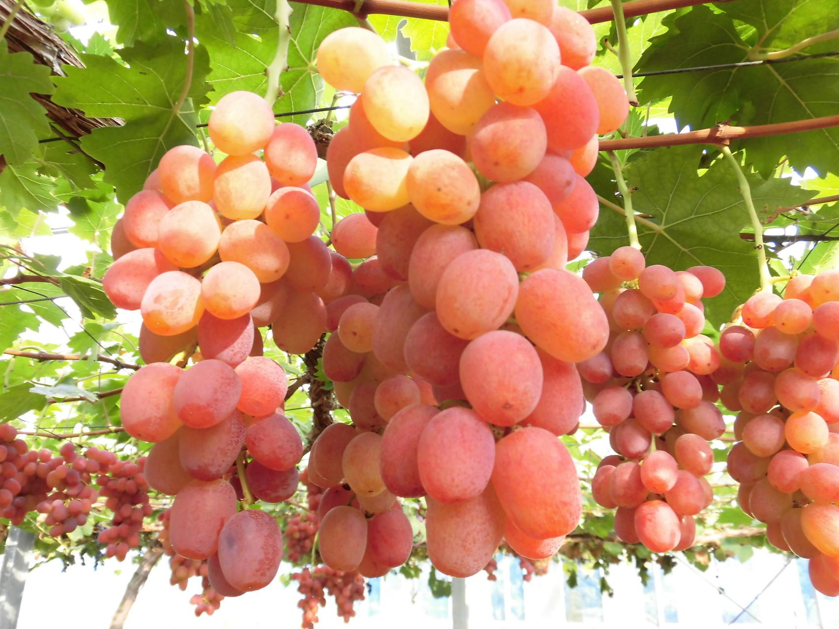 美味しそうなブドウ 3