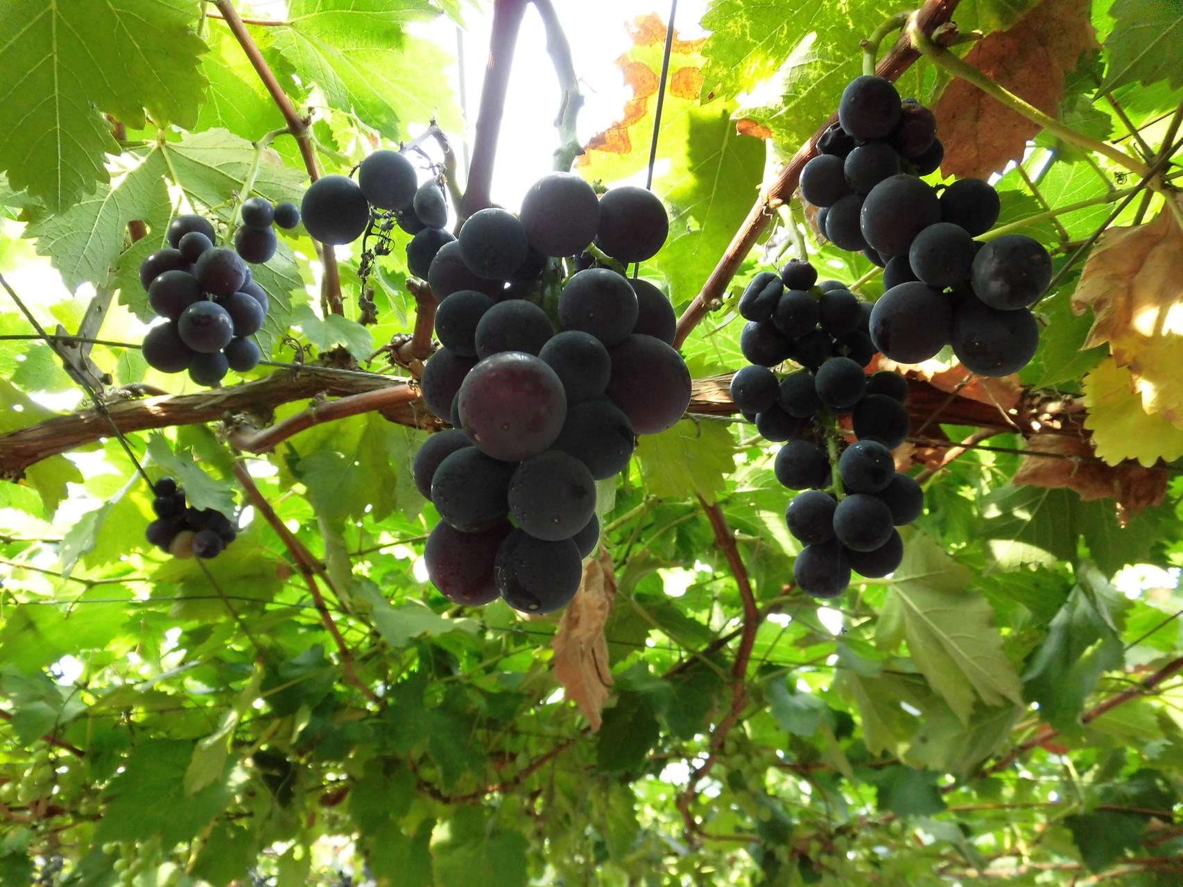 美味しそうなブドウ4  品種は忘れてしまいました。すいません