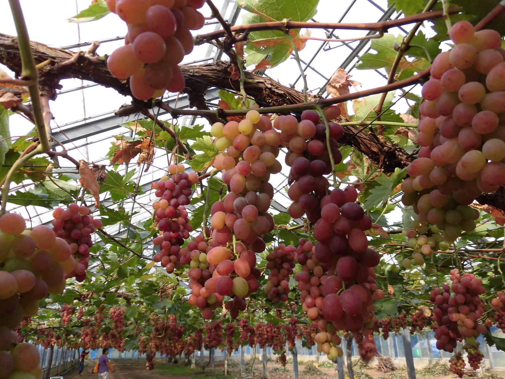 美味しそうなブドウ 1赤嶺(せきれい)と言う品種です