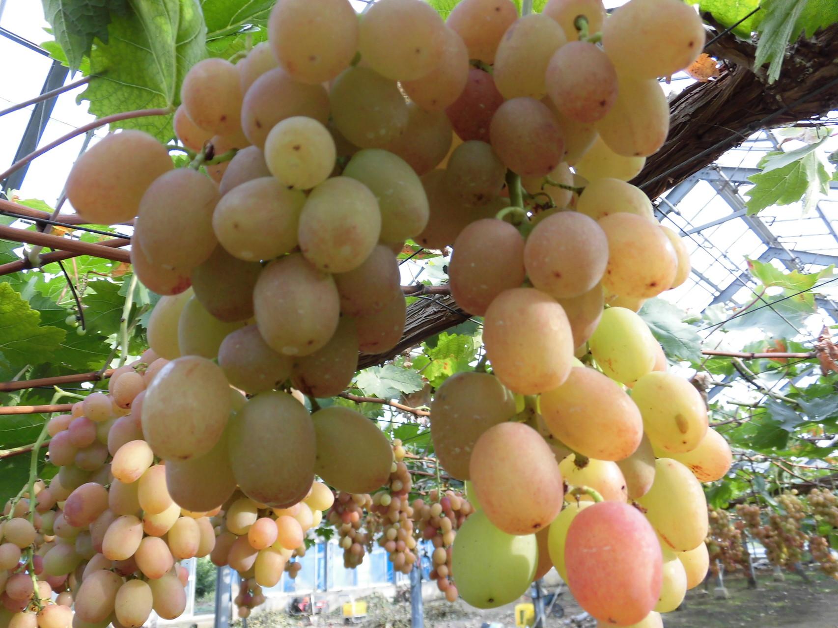 美味しそうなブドウ 2