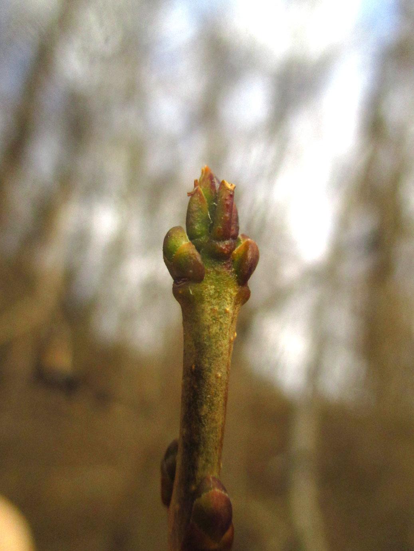 Gewöhnlicher Liguster (Ligustrum vulgare) | Familie: Ölbaumgewächse (Oleaceae)
