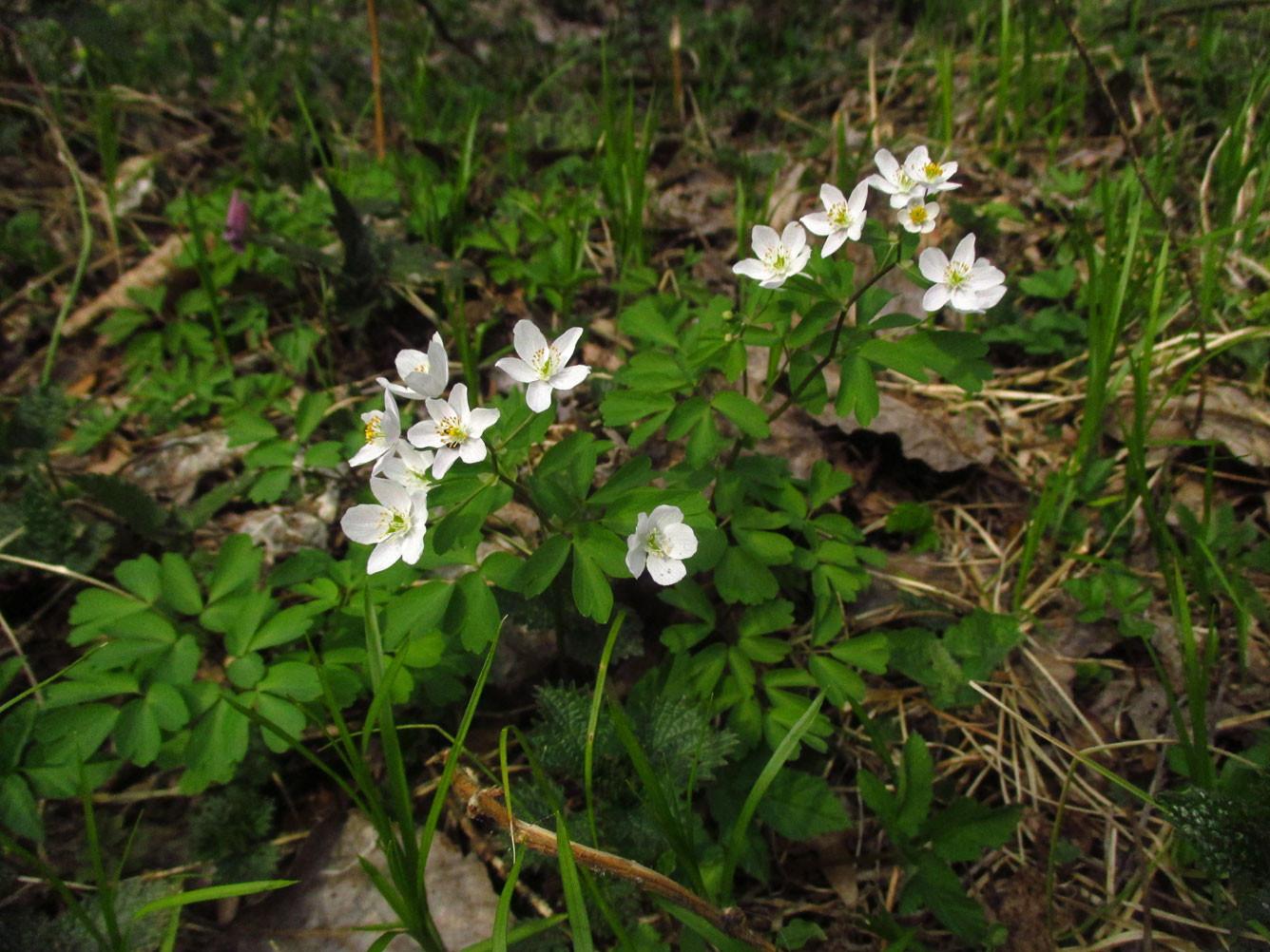 Muschelblümchen (Isopyrum thalictroides) | Familie: Hahnenfußgewächse (Ranunculaceae)
