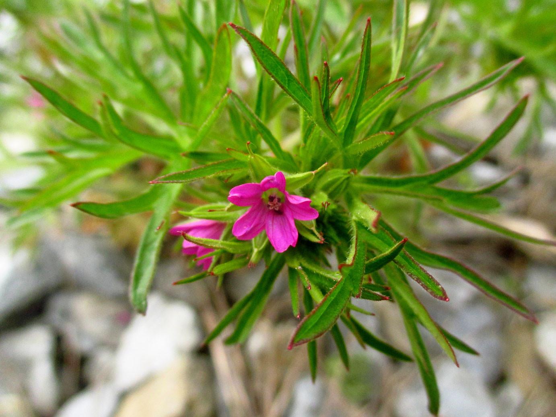 Schlitzblatt-Storchschnabel (Geranium dissectum) | Familie: Storchschnabelgewächse (Geraniaceae)