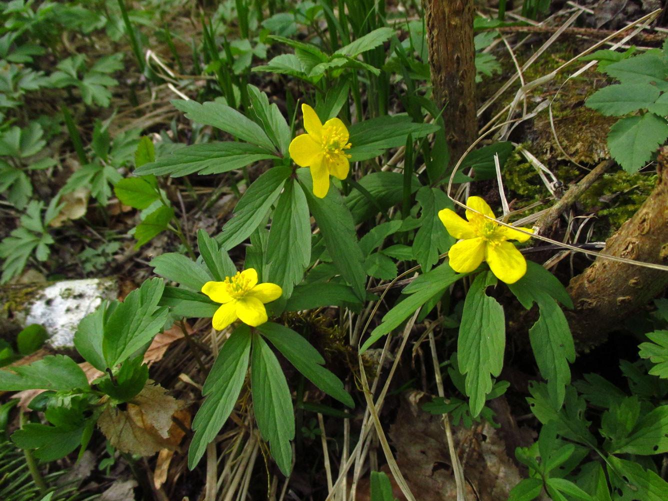 Gelb-Windröschen (Anemone ranunculoides) | Familie: Hahnenfußgewächse (Ranunculaceae) | giftig!