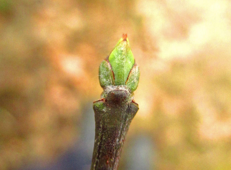 Europa-Pfaffenkäppchen (Euonymus europaeus) | Familie: Spindelbaumgewächse (Celastraceae)
