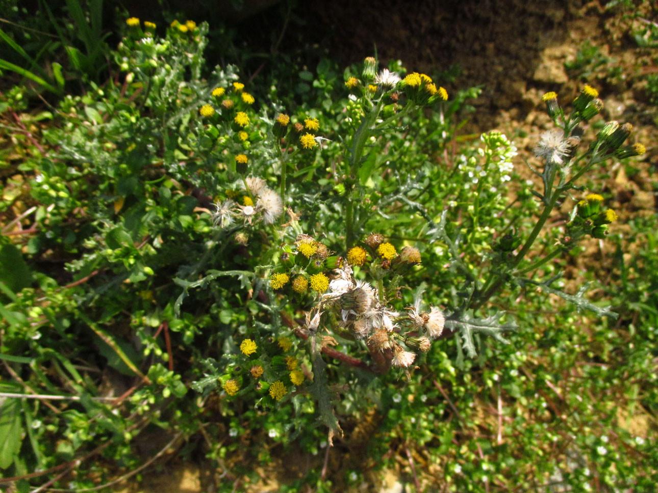 Gewöhnliches Greiskraut (Senecio vulgaris) | Familie: Korbblütler (Asteraceae)