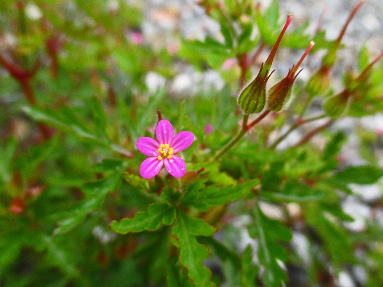Purpur-Storchschnabel (Geranium purpureum) | Familie: Storchschnabelgewächse (Geraniaceae)