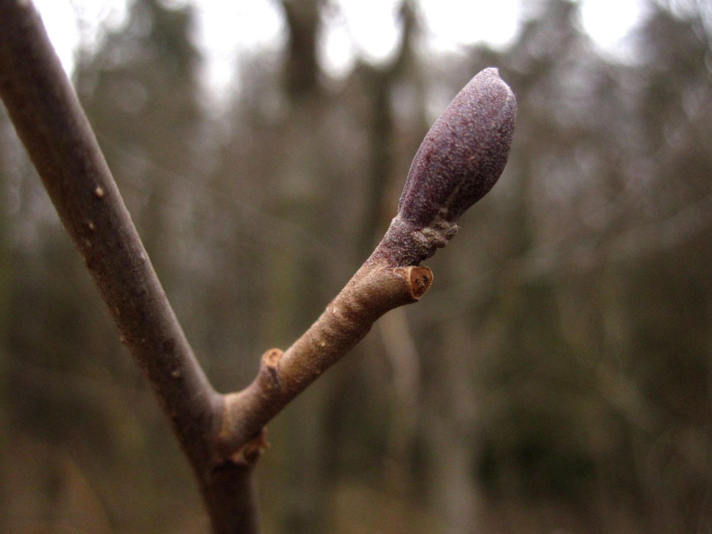 Schwarz-Erle (Alnus glutinosa) | Familie: Birkengewächse (Betulaceae)