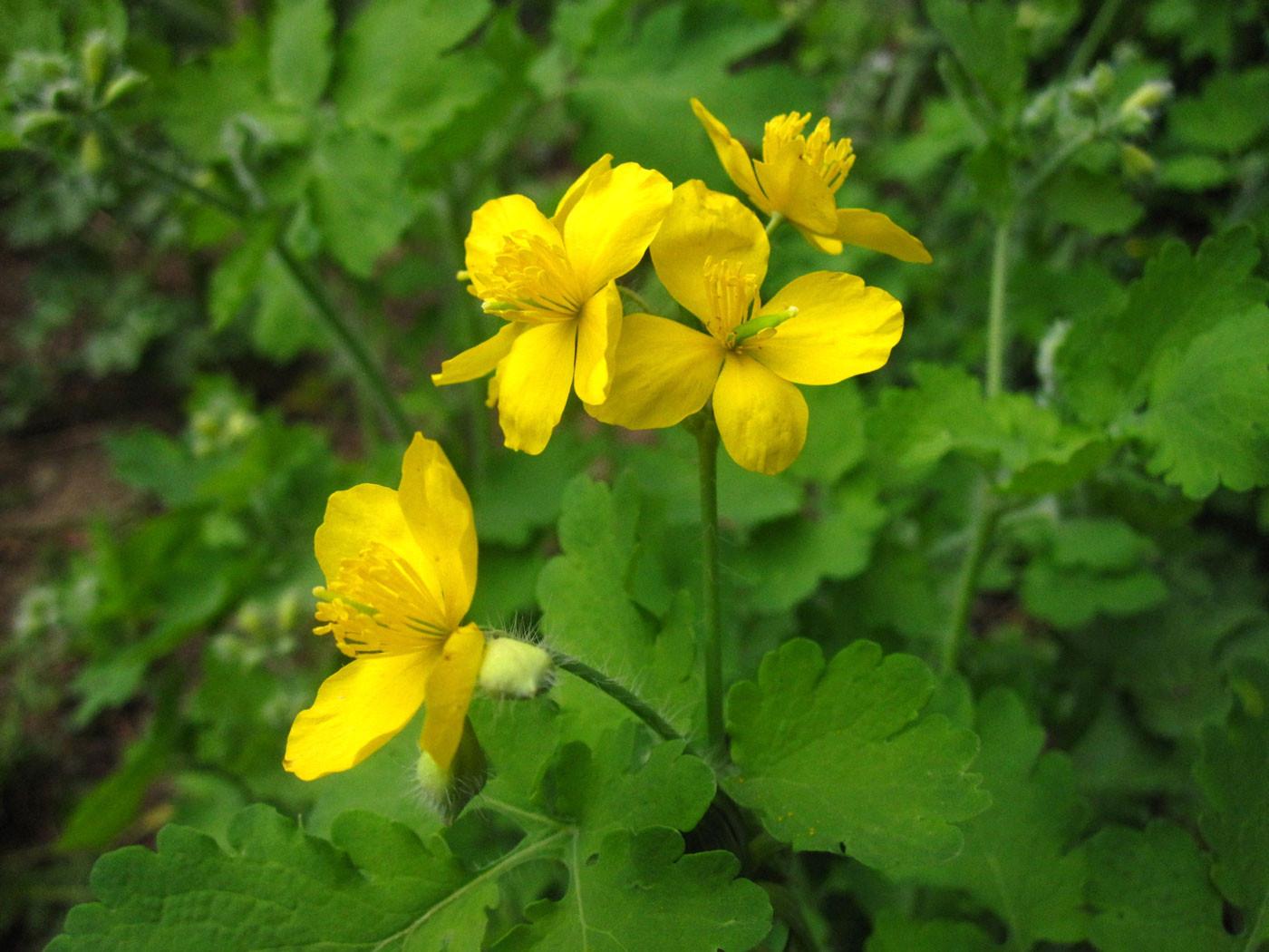 Schöllkraut (Chelidonium majus) | MOHNGEWÄCHSE (Papaveraceae) | giftig!