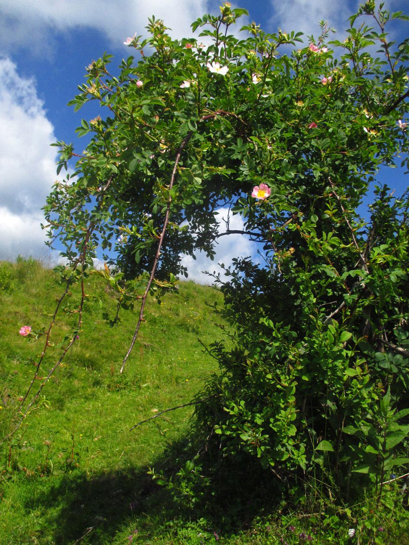 Hunds-Rose (Rosa canina) | Familie: Rosengewächse (Rosaceae)