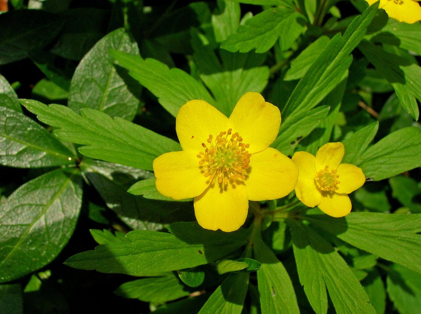 Gelbes Windröschen (Anemone nemorosa) | HAHNENFUSSGEWÄCHSE (Ranunculaceae) | giftig!