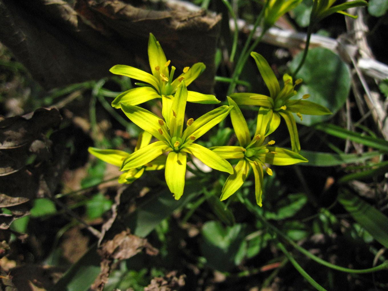 Wald-Gelbstern (Gagea lutea) | Familie: LIliengewächse (Liliaceae) | teilweise geschützt!