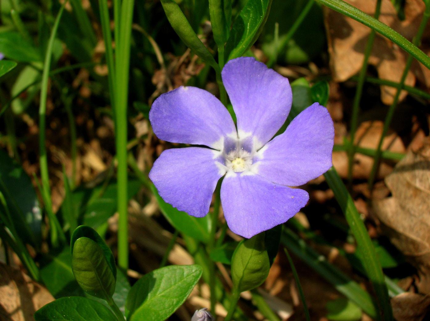 Kleines Immergrün (Vinca minor) | HUNDSGIFTGEWÄCHSE (Apocynaceae) | schwach giftig!
