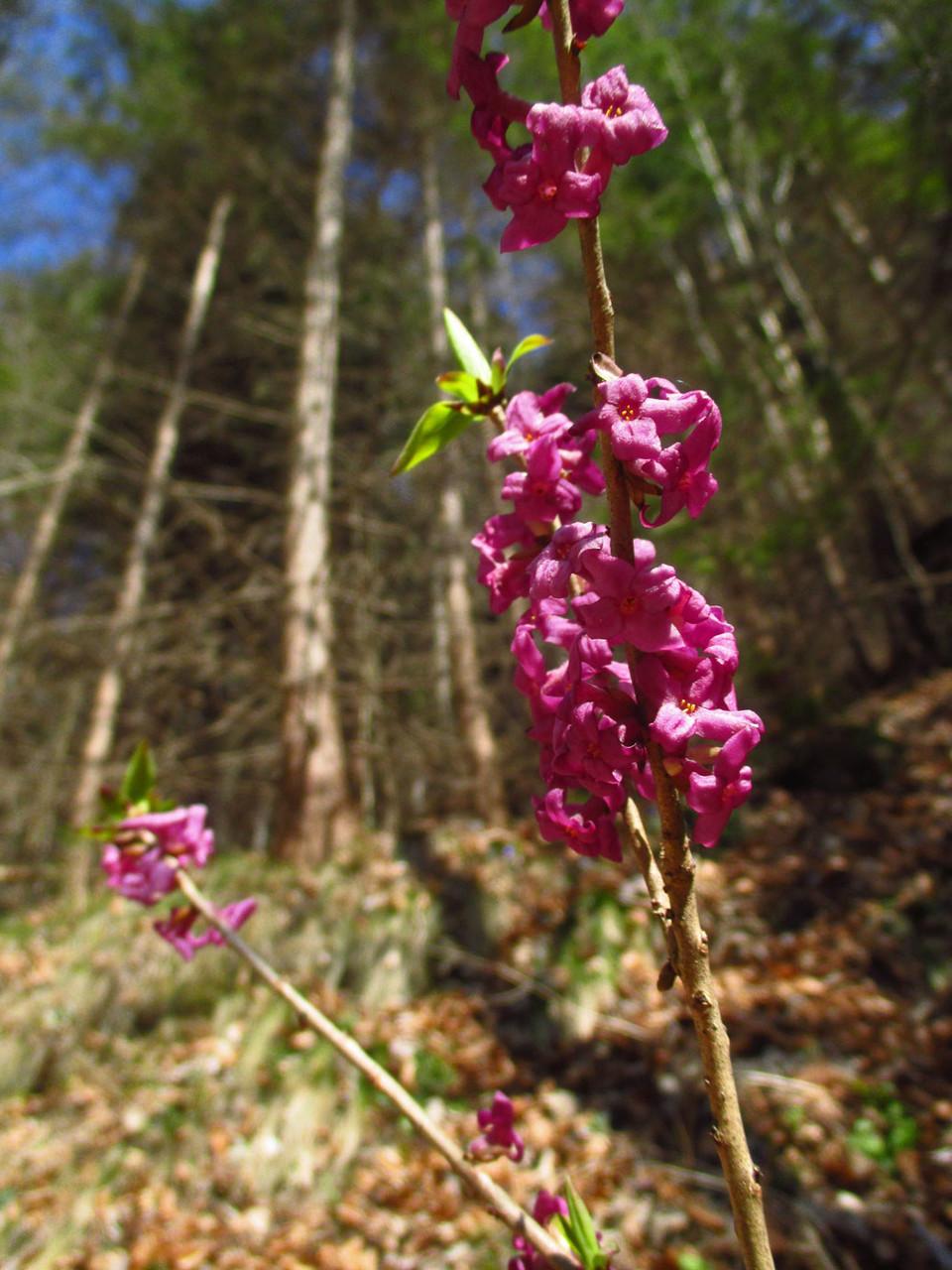 Echter Seidelbast (Daphne mezereum) | Familie: Spatzenzungengewächse (Thymelaeaceaea) | stark giftig! | teilweise geschützt!