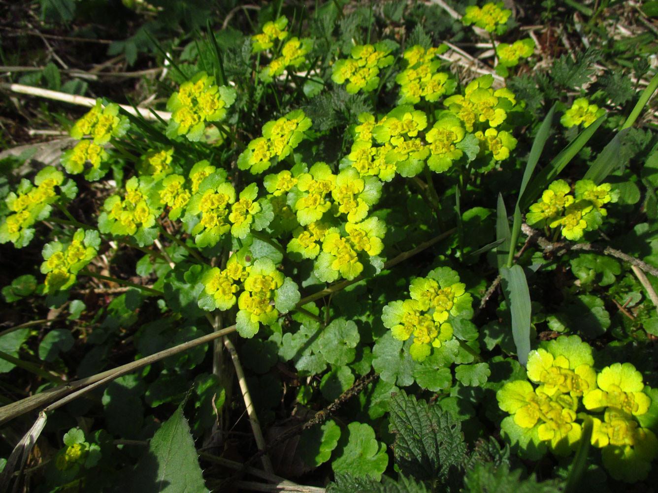 Wechselblatt-Milzkraut (Chrysosplenium alternifolium) | Familie: Steinbrechgewächse (Saxifragaceae)