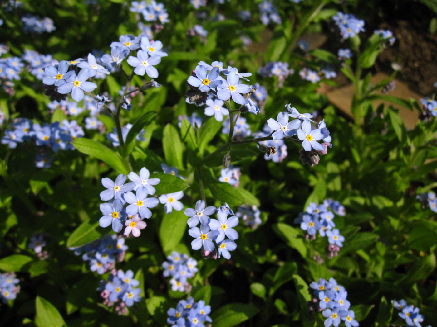 Wald-Vergissmeinnicht (Myosotis sylvatica) | RAUHBLATTGEWÄCHSE (Boraginaceae)