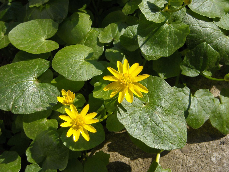 Scharbockskraut (Ficaria verna) | HAHNENFUSSGEWÄCHSE (Ranunculaceae)