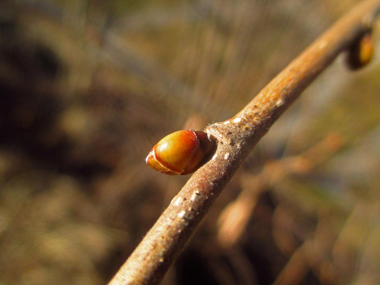 Gewöhnliche Hasel (Corylus avellana) | Familie: Birkengewächse (Betulaceae)