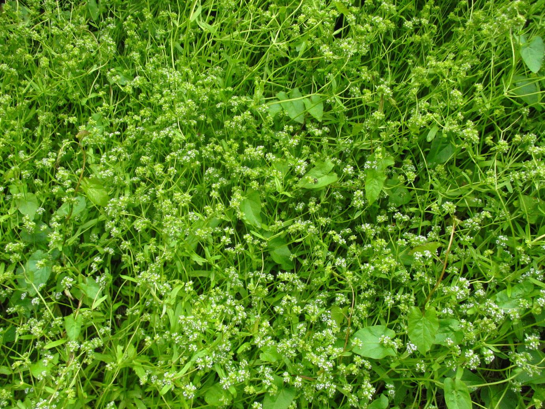 Gewöhnlicher Feldsalat (Valerianella locusta) | Familie: Baldriangewächse (Valerianaceae)