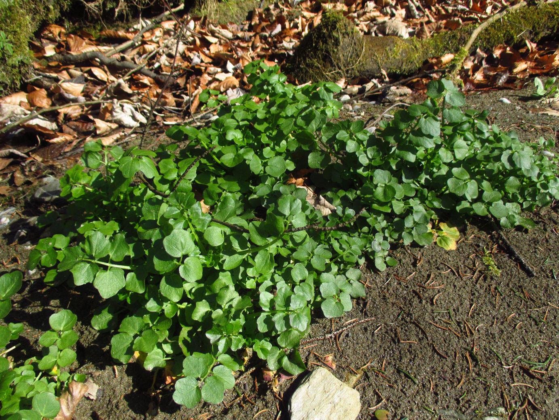 Bitter-Schaumkraut (Cardamine amara) | Familie: Kreuzblütler (Brassicaceae)