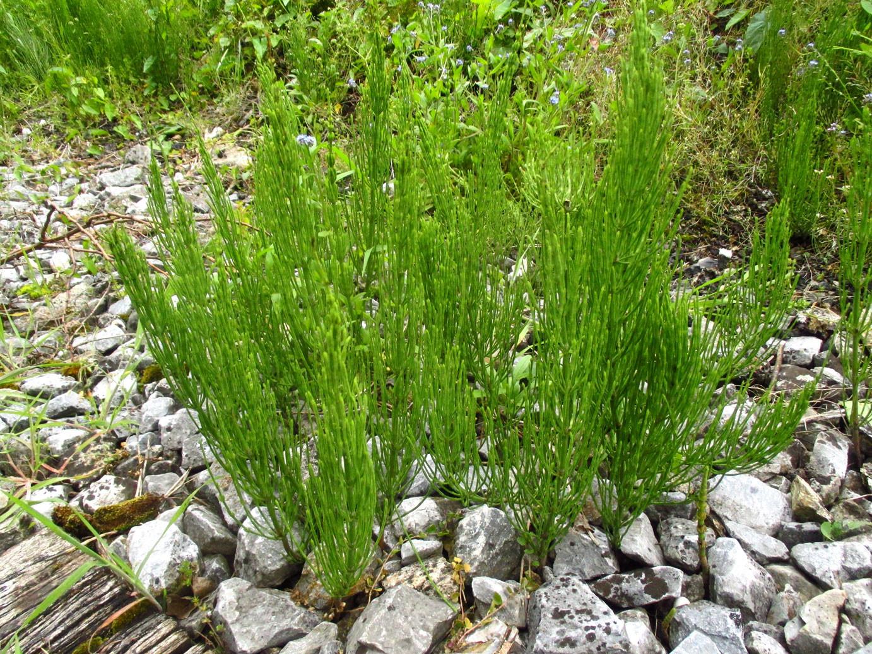 Acker-Schachtelhalm (Equisetum arvense) | Familie: Ackerschachtelhalmgewächse (Equisetaceae)
