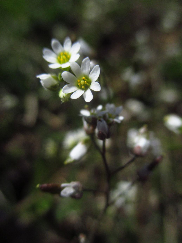 Frühlings-Hungerblümchen (Draba verna) | Familie: Kreuzblütler
