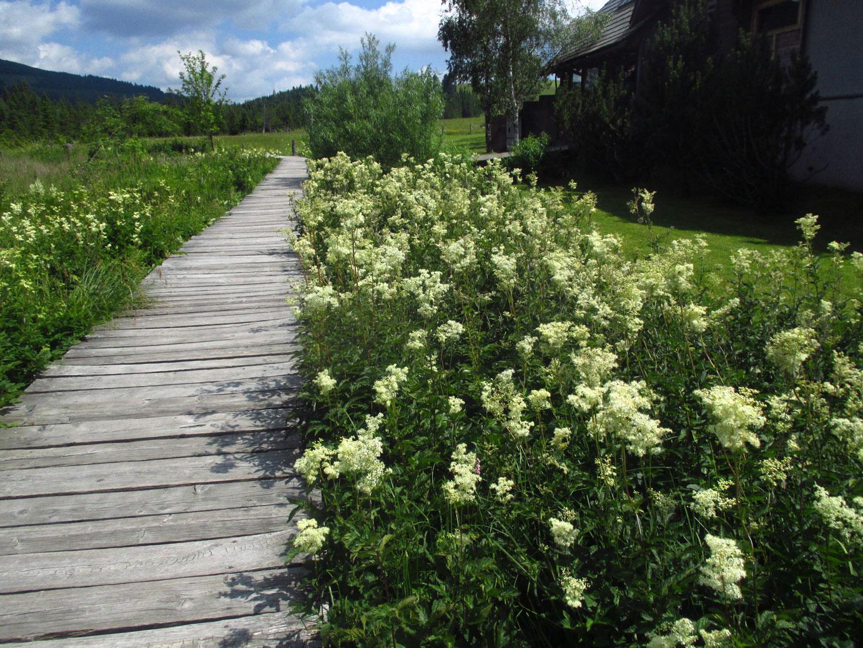 Großes Mädesüß (Filipendula ulmaria) | Familie: Rosengewächse (Rosaceae)