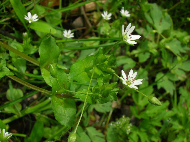 Großblütige Vogel-Sternmiere (Stellaria neglecta) | NELKENGEWÄCHSE (Caryophyllaceae)