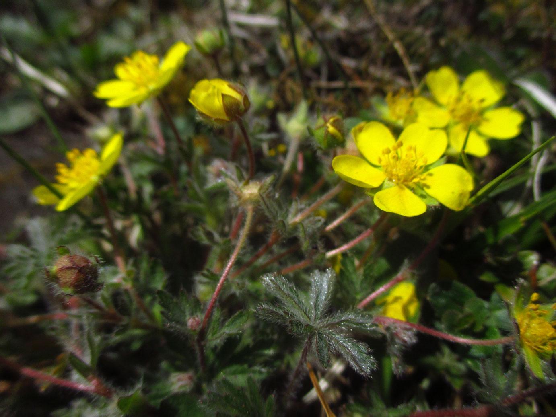 Siebenblatt-Fingerkraut (Potentilla heptaphylla) | Familie: Rosengewächse