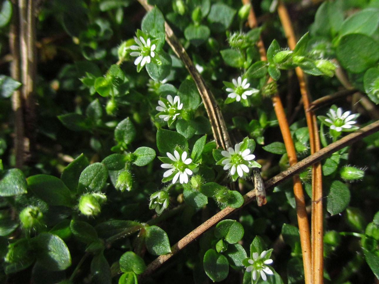 Vogel-Sternmiere (Stellaria media) | Familie: Nelkengewächse (Caryophyllaceae)