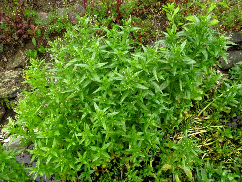Ufer-Ehrenpreis (Veronica anagallis-aquatica) | Familie: Ehrenpreisgewächse (Veronicaeae)