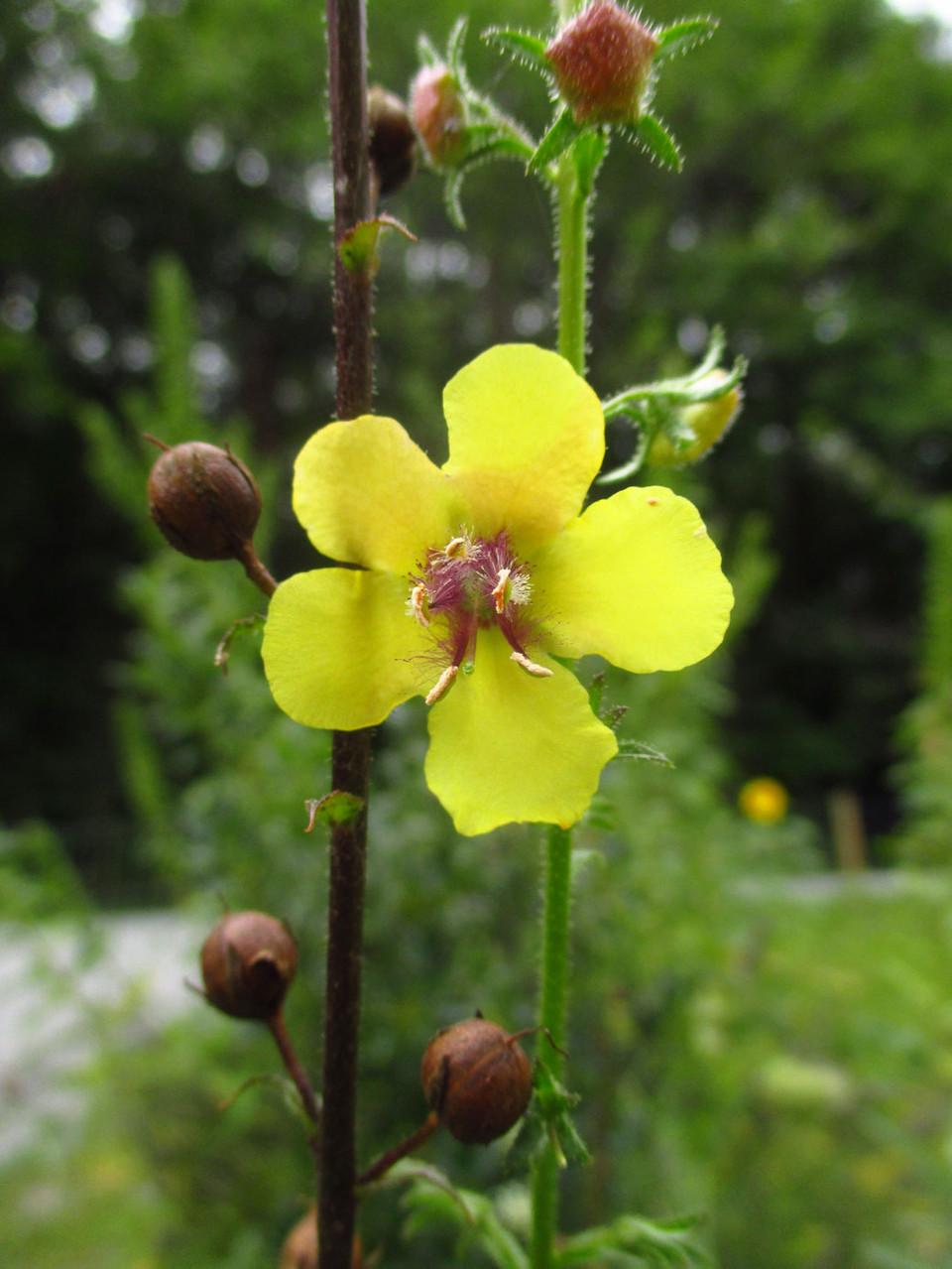 Schaben-Königskerze (Verbascum blattaria) | Familie: Braunwurzgewächse (Scrophulariaceae)