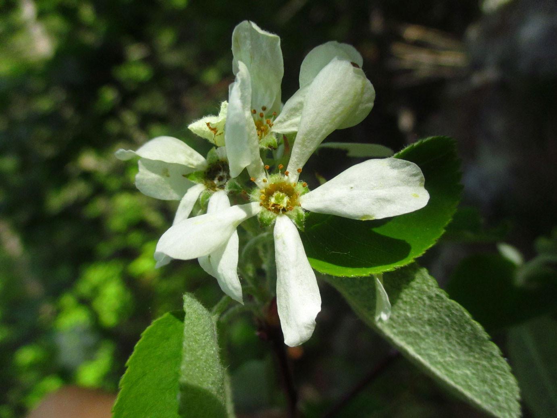 Echte Felsenbirne (Amelanchier ovalis) | Rosengewächse (Rosaceae)