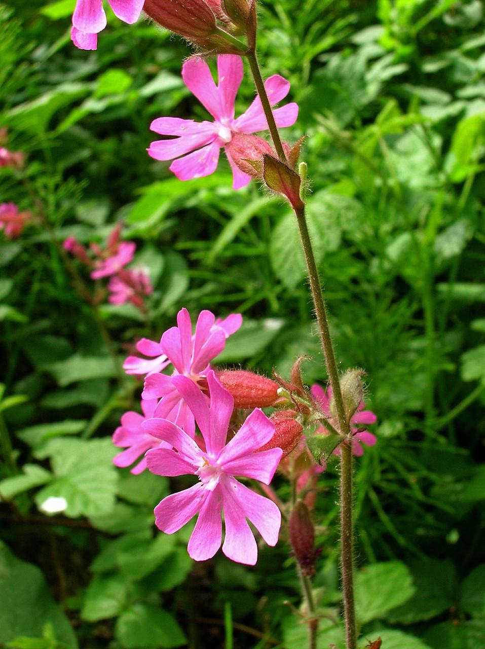 Rote Lichtnelke (Silene dioica) | NELKENGEWÄCHSE (Caryophyllaceae)