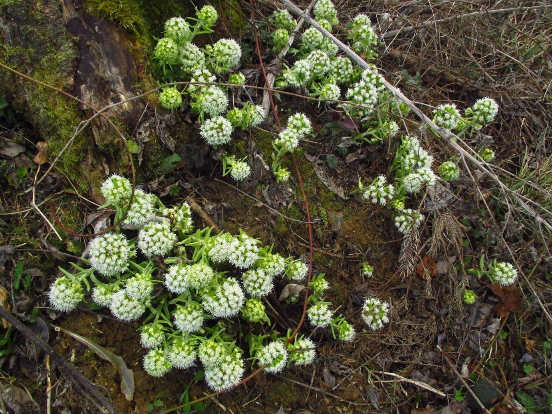Weiße Pestwurz (Petasites albus) | Familie: Korbblütler (Asteraceae)