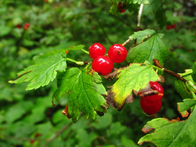 Alpen-Ribisel (Ribes alpinum) | Familie: Stachelbeergewächse (Grossulariaceae)