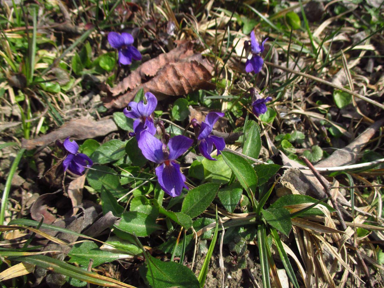März-Veilchen (Viola odorata) | Familie: Veilchengewächse (Violaceae)