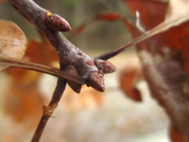 Trauben-Eiche (Quercus petraea) | Familie: Buchengewächse (Fagaceae)