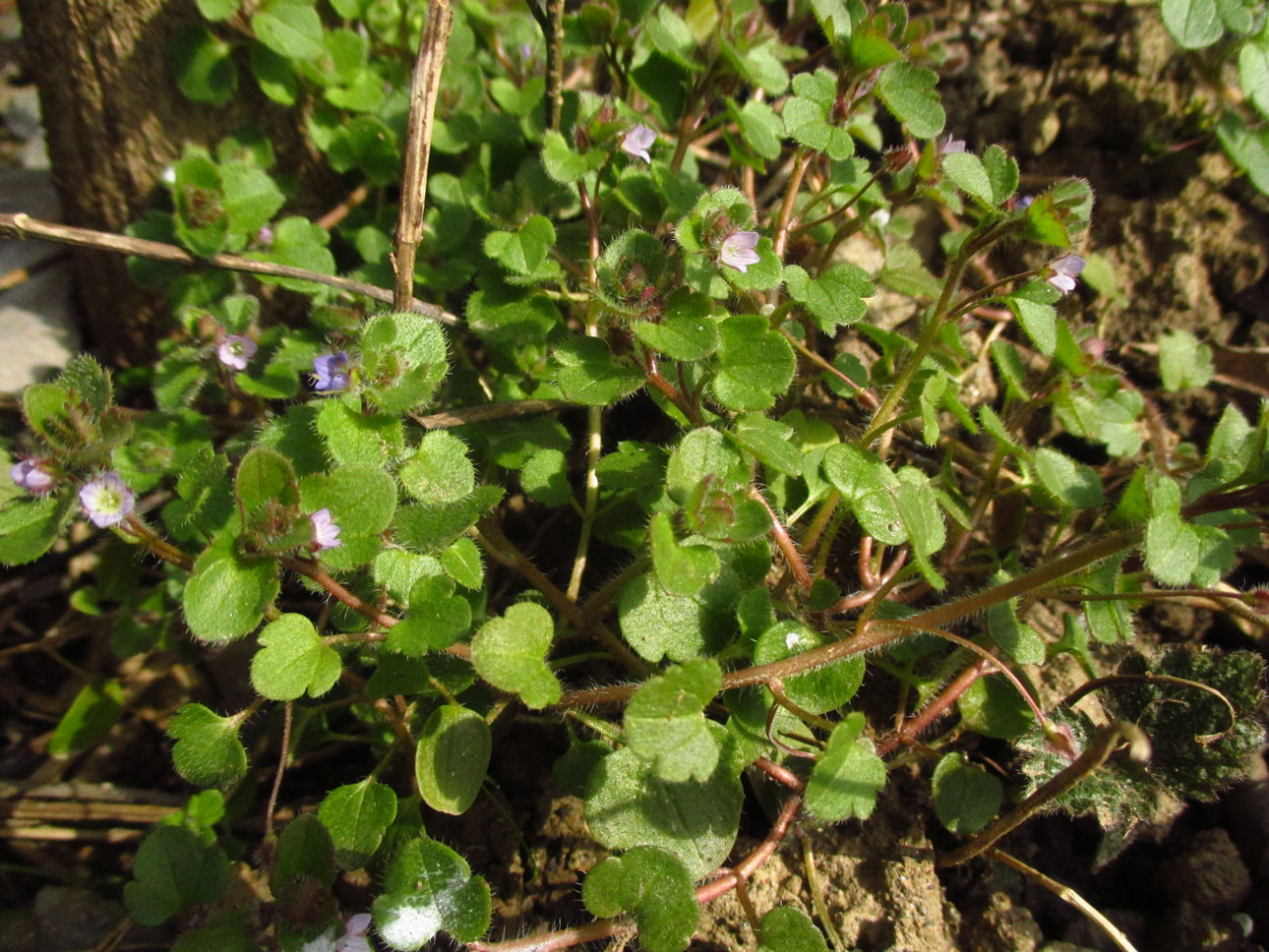 Hain-Ehrenpreis (Veronica sublobata) | Familie: Ehrenpreisgewächse (Veronicaceae)