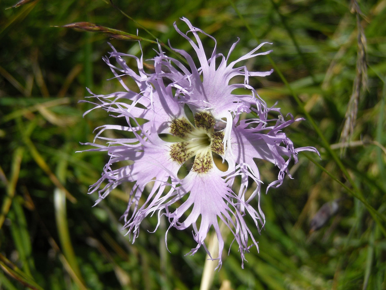 Pracht-Nelke (Dianthus superbus) | teilweise geschützt!
