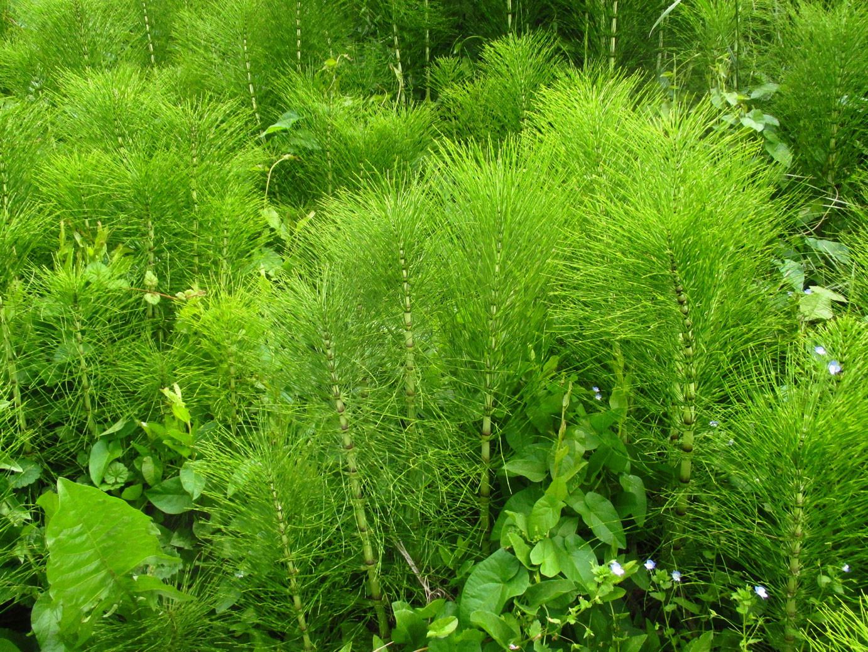 Riesen-Schachtelhalm (Equisetum telmateia) | Familie: Ackerschachtelhalmgewächse (Equisetaceae)