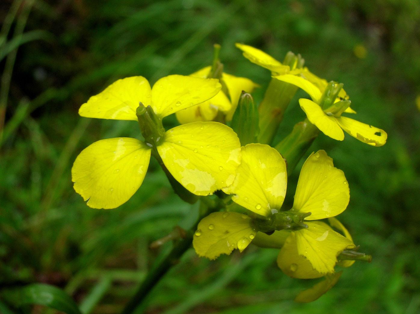 Felsen-Goldlack (Erysimum sylvestre) | Kreuzblütler (Brassicaceae)