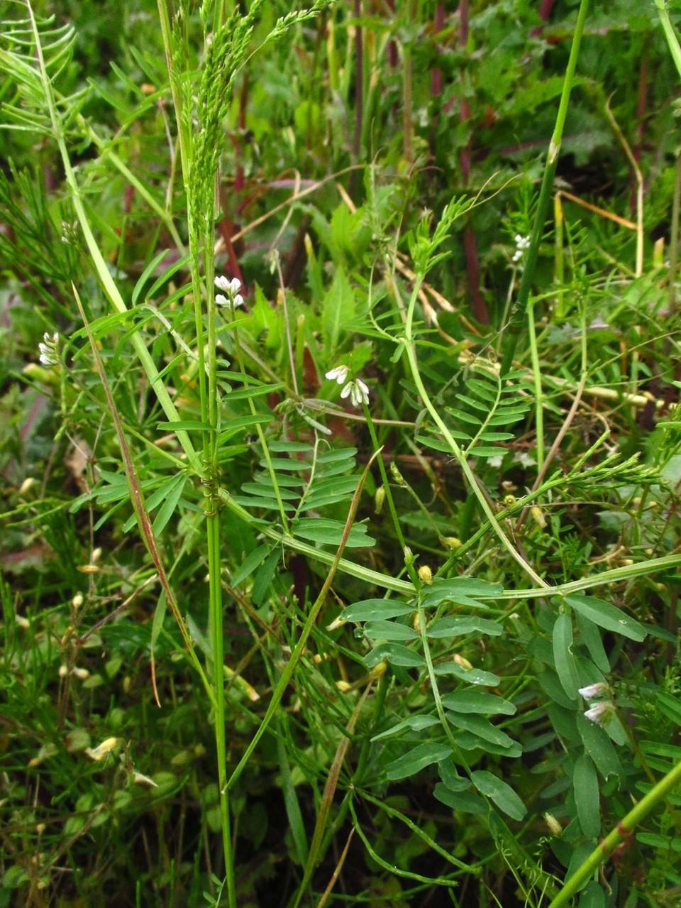 Zweisamen-Wicke (Vicia hirsuta) | Familie: Schmetterlingsblütler (Fabaceae)