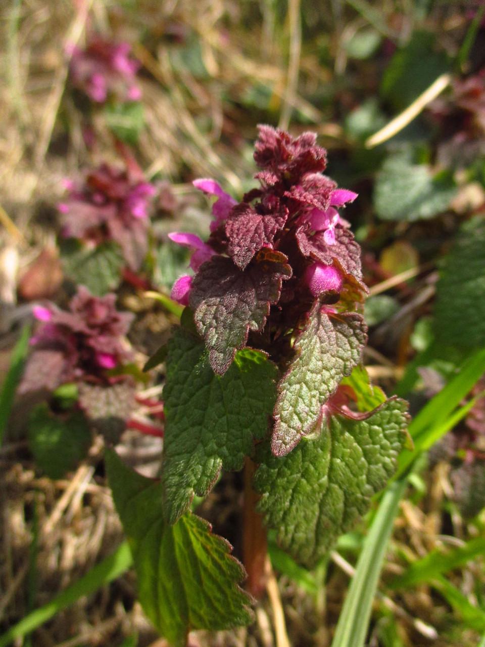 Purpur-Taubnessel (Lamium purpureum) | Familie: Lippenblütler (Lamiaceae)