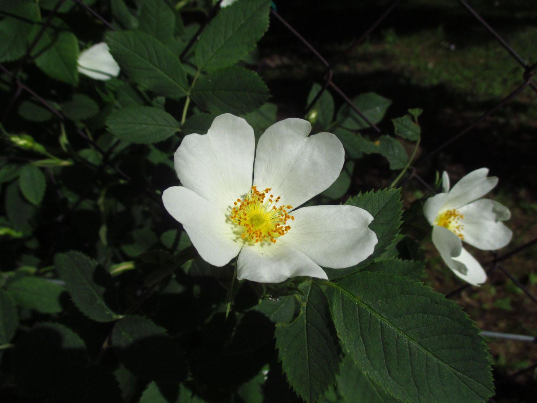 Gebüsch-Rose (Rosa corymbifera s.lat.) | Familie: Rosengewächse (Rosaceae)