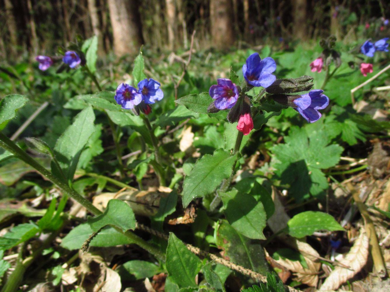 Echtes Lungenkraut (Pulmonaria officinalis) | Familie: Raublattgewächse (Boraginaceae)