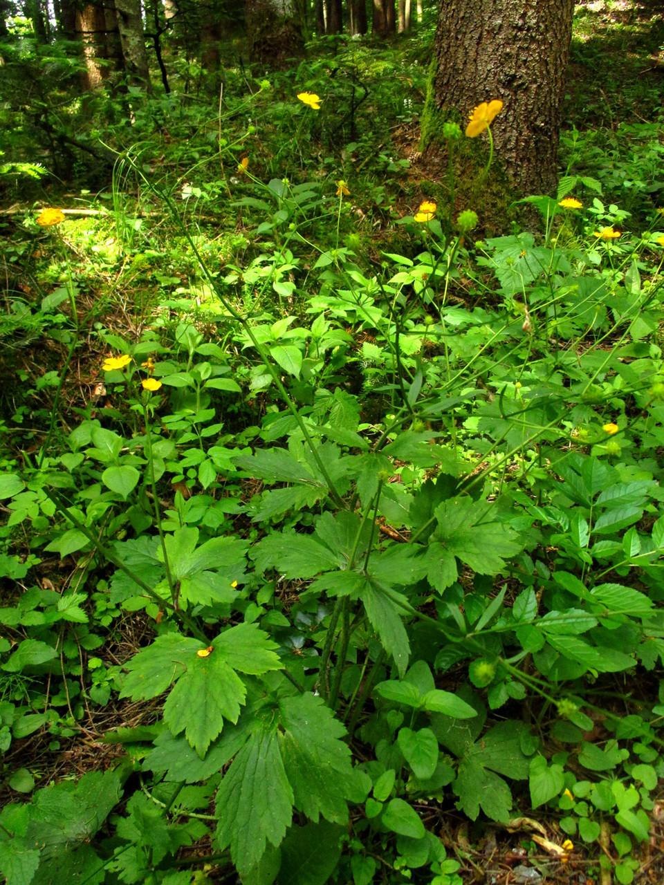 Woll-Hahnenfuß (Ranunculus lanuginosus) | HAHNENFUSSGEWÄCHSE (Ranunculaceae) | giftig!