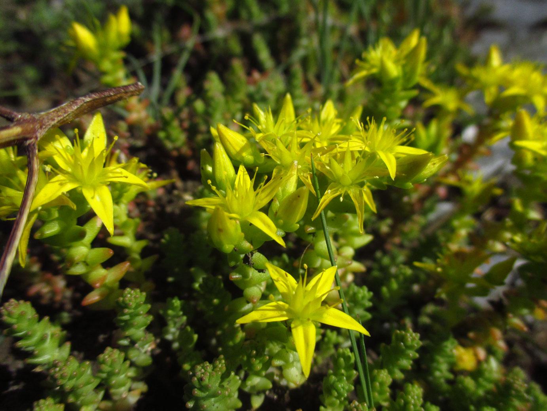 Scharfer Mauerpfeffer (Sedum acre) | Familie: Dickblattgewächse (Crassulaceae)