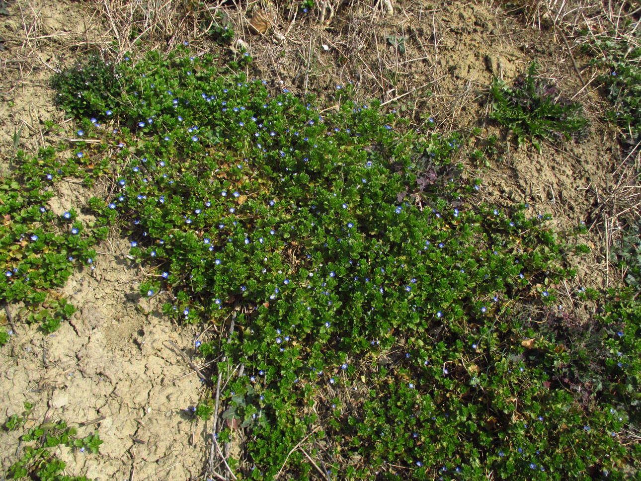 Persien-Ehrenpreis (Veronica persica) | Familie: Ehrenpreisgewächse (Veronicaceae)